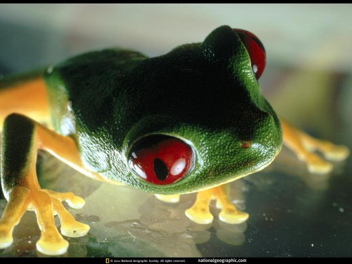 Little green and yellow frog with fiery red eyes looking at the viewer